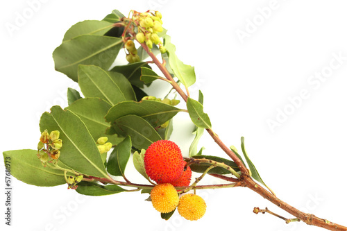 Branch of strawberry tree with ripe and unripe fruits and leaves
