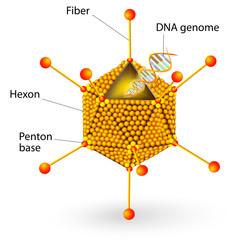 Structure of adenovirus. Vector diagram