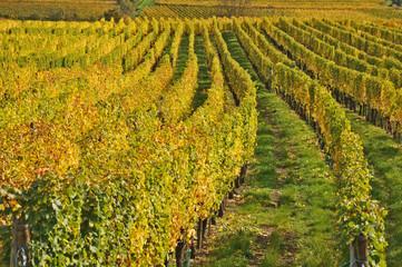 Francia, vigneti di Alsazia in autunno dopo la vendemmia
