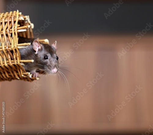 Friendly pet brown rat in wicker basket, animals at home