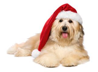 Cute reddish lying Christmas Havanese puppy dog with a Santa hat
