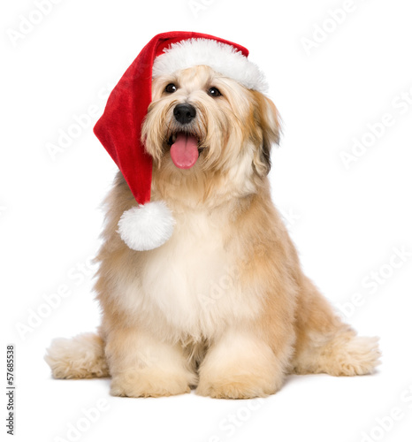 Cute reddish sitting Christmas Havanese puppy dog with a Santa h
