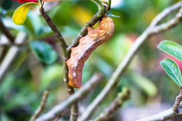 the orange caterpillars eat leaves