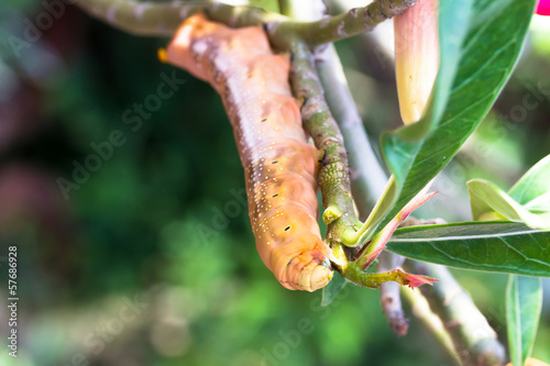 the orange caterpillars hang branch so eat leaves