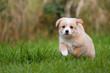 Hunde Welpen rennt