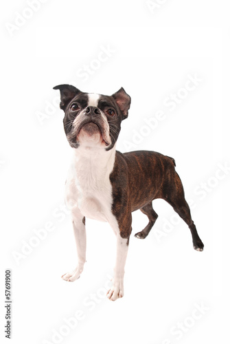 Boston Terrier Dog Standing on White