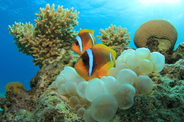 Clownfish and Anemone on coral reef
