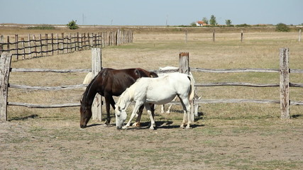 Lipizzaner horses at the farm