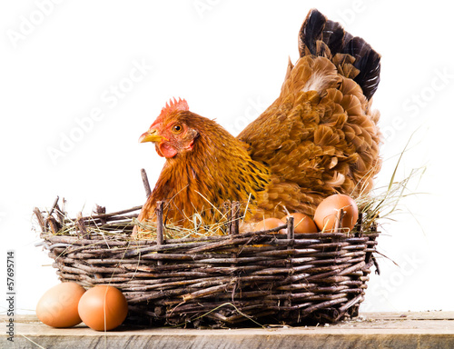 Foto op Canvas Kip Chicken with eggs isolated on white