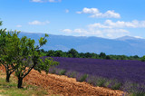 Lavener field in Provence, France