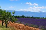Lavener field in Provence, France