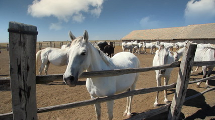 Beautiful white Lipizzaner horses at the farm