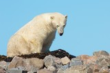 Polar Bear waking up on a grassy knoll