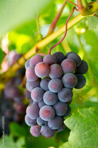 blue grapes growing