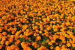 Sunny orange marigolds for sale