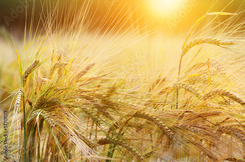 canvas print picture Wheat background