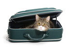 Fototapety Cat in a suitcase