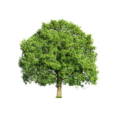 Close up of green tree isolated on white background