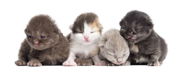 Highland straight or fold kittens in a row, 1 week old, isolated