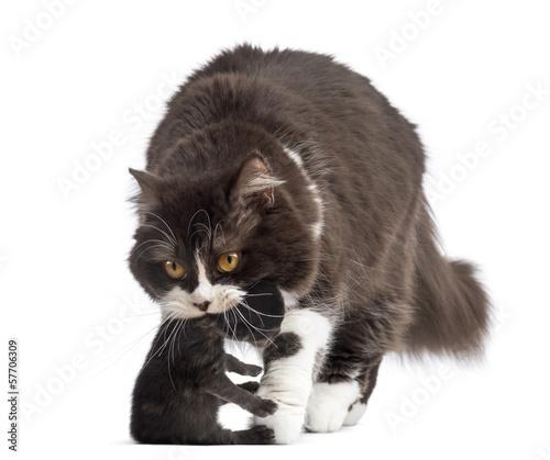 Staande foto Dragen Front view of British Longhair carrying a one week old kitten