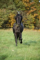 Gorgeous black stallion running in autumn