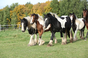 Group of horses running on pasturage