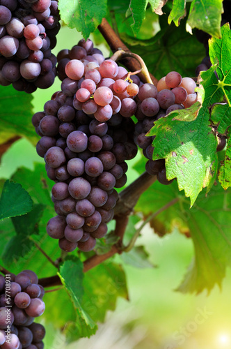 Ripe rose grapes