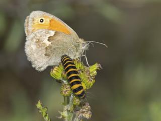 Vlinder met rups