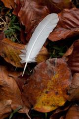 penna di uccello e foglie secche di faggio