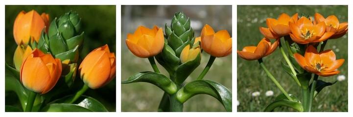 floraison d'un dubium