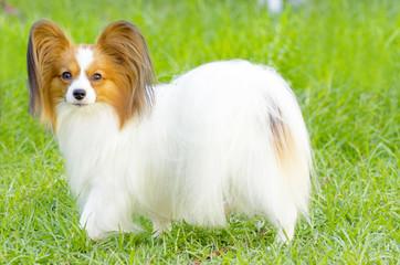 Papillon dog
