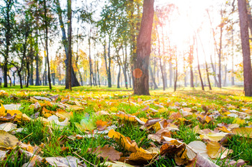 Autumn leafs on green grass in the park with trees and sun rays