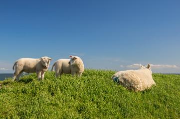 Sheep at the dyke