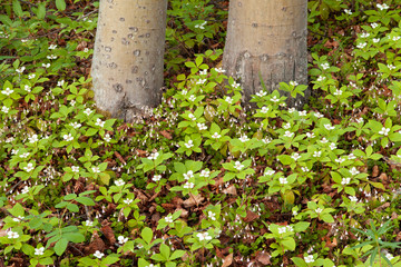 Twinflowers and Bunchberry flowers on taiga floor