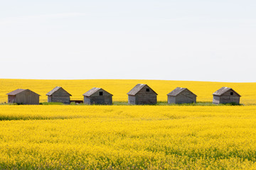 Farm huts canola field farm agriculture landscape
