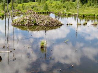 Taiga wetlands beaver lodge Castor canadensis