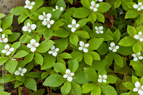 Blooming Bunchberry carpet Cornus canadensis