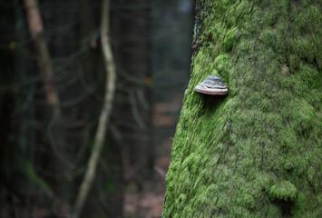 Zunderpilz am bemoosten Baum