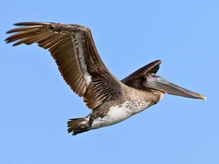 Pelican, Pelecanidae, in flight against blue sky