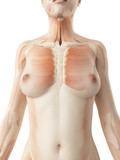 female breast muscles