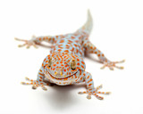 Tokay Gecko Thailand on white background
