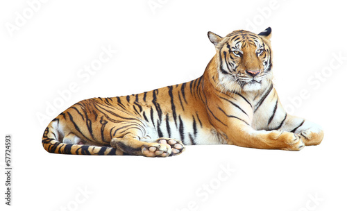 Staande foto Tijger Tiger looking camera with clipping path on white background