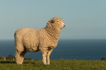 staring lamb
