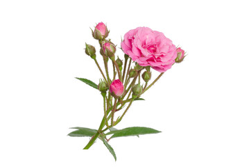 Fairy Rose isolated on white background
