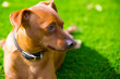 Mini pinscher brown dog portrait laying in lawn