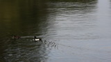Ducks swimming in the river 8306