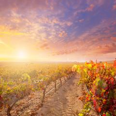 sunrise in vineyard at Utiel Requena vineyards spain