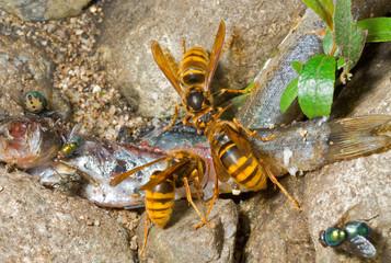 Hornets eat fish 1