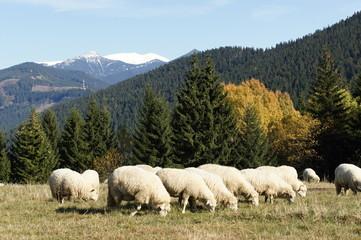 Herd of sheeps near Kvačianska valley, Liptov, Slovakia