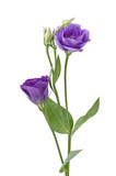 Beautiful eustoma flower